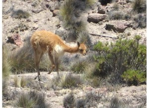 A vicuna, a small member of the llama family
