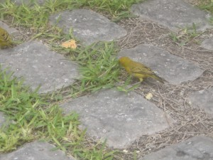 Lima is full of wonderful little yellow birds, who no doubt will have very good luck.